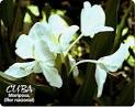 Flor_cubana_Mariposa