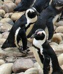 African.penguin.bristol.750pix_(Pingstone)