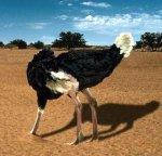 avestruz-1